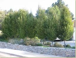 Good Backyard Trees by The Best Privacy Trees What To Plant If You See To Much Of Your
