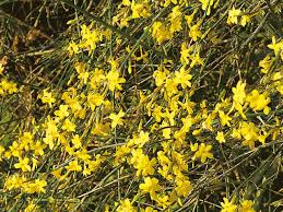 winter jasmine our favorite flowers winter jasmine perennials