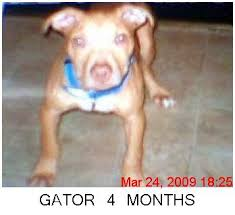 american pitbull terrier gator puppy pics of gator pitbulls go pitbull dog forums