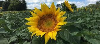 tonganoxiemirror com embracing bracing for grinter sunflowers
