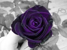 purple roses purple by of on deviantart