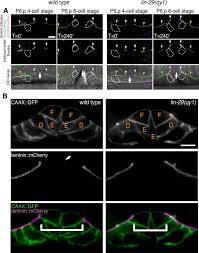 boundary cells restrict dystroglycan trafficking to control