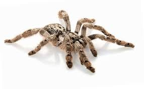 10 most dangerous spiders in the world planet deadly