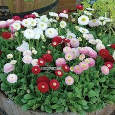 Famosos 650 Sementes Da Flor Bellis Perennis Sortida Flor Rapazinho - R  #NA04