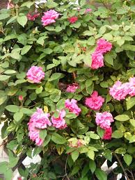 roses articles gardening know how