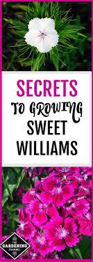 sweet william flowers growing sweet william gardening channel