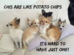 Chihuahua Meme - 12 best chihuahua memes of all time