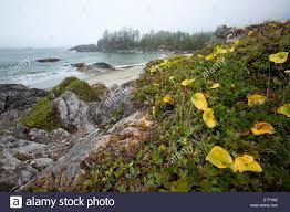 british native plants native plants grow along the radar beaches in pacific rim national