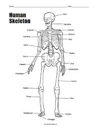 free printable human skeleton worksheet all free printable