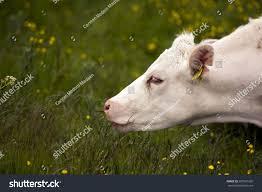 middelfart denmark june 7 white cow stock photo 287581265