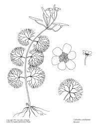 florida native aquatic plants cabomba caroliniana u2013 uf ifas center for aquatic and invasive plants