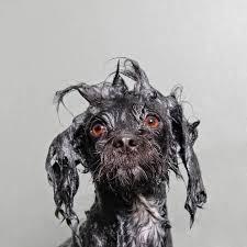 affenpinscher illinois wet dog photography series by sophie gamand stoopiddog