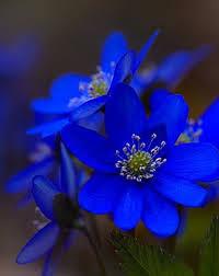 blue flower 126 best blue flowers images on bluebonnets