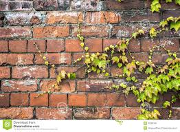 green ivy plant creeping across an old brick wall stock photo