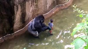 kids have fallen into gorilla enclosures before but with happy