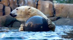 Lights At Lincoln Park Zoo by Polar Bear Makes A Splash At Lincoln Park Zoo U0027s Newest Exhibit