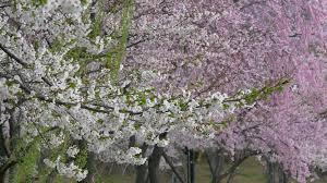 cherry blossom tree in spring time in seoul korea stock video