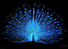 12 best dkk lichtpfau images on peacock