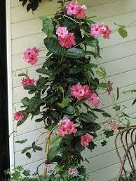 Tropical Climbing Plant - best 25 climbing flowering vines ideas on pinterest flower
