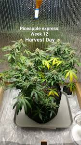growing autoflower with led lights pineapple express autoflower 2 grow journal week12 by