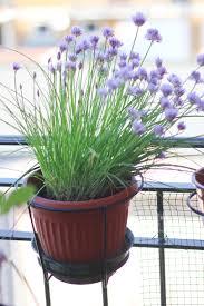 erba cipollina in vaso frittata con i fiori di erba cipollina il gatto goloso