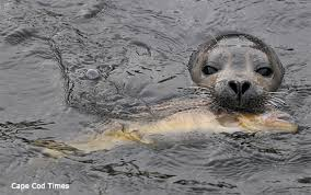 Cape Cod Times Archives - harbor seal makes trek to trout hatchery has feast animal fact