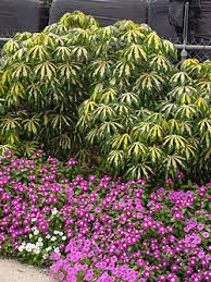 new variegated tapioca garden org
