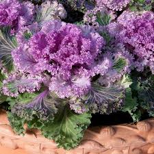 98 best ornamental cabbage images on ornamental