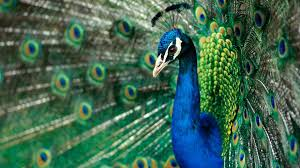 toshiba laptop wallpaper peacock feather wallpaper hd http wallpapermonkey com