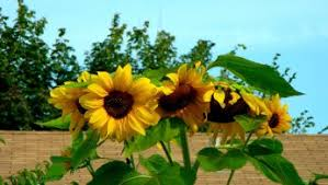 sunflower wallpapers sunflower wallpapers images photos backgrounds download free 11102