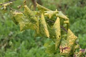 Viroid Diseases In Plants - plant disease u0027 in plant health scoop it