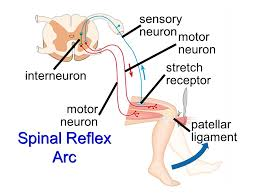 Motor Reflex Arc Peripheral Nervous System Ch Ppt Video Online Download
