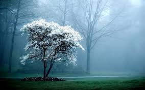 white tree charming white tree foggy wallpapers charming white tree foggy