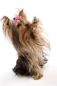 yorkie hair cut chart are yorkies intelligent dogs pets