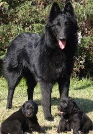 belgian shepherd oklahoma 148 best belgian sheepdogs images on pinterest belgian shepherd