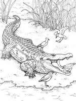 Coloriage Crocodile sur Top Coloriages  Coloriages crocodile