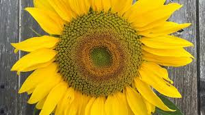 5 stunning sunflowers for fall gardens