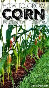 Zone Gardening - how to grow corn central florida zone 9 jane u0027s dish