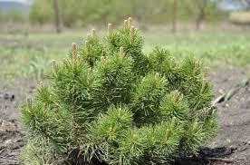 fir tree free photo smart photo stock