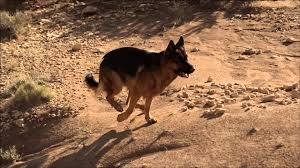 lexus of new zealand royal canin the german shepherd u2013 new zealand youtube