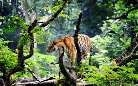 bengal tiger jungle widescreen hd wallpapers large hd