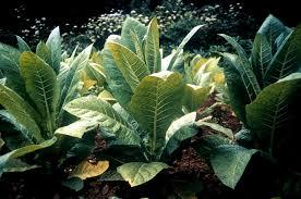 tobacco nicotiana spp poisonous plants goatworld