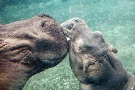 Science The New York Times Hooray For Fiona The Hippo Our Bundle Of Social Media Joy The
