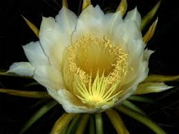 Fragrant Plants List Night Blooming Cereus Wikipedia
