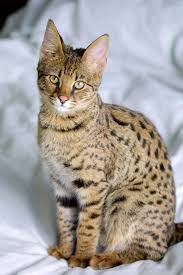 different grey cat breeds chats savannah domestic cat and serval