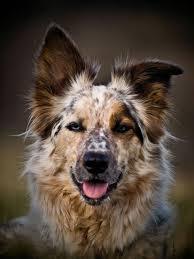 australian shepherd grey best 25 herding dogs ideas on pinterest blue merle border