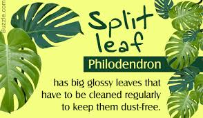 philodendron how to take care of the glossy split leaf philodendron plant