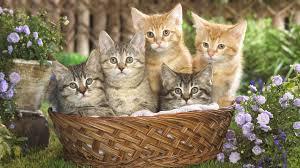 tabby cats information pets world