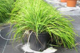 Mosquito Repellent For Home by Mosquito Repelling Chemicals Identified In Traditional Sweetgrass