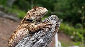 Seeking Lizard Bearded Lizards Turn Males But Secret Advantages